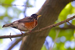 Perched Robin (imageClear) Tags: nature robin aperture nikon flickr perched photostream 80400mm d600 birdphotography commonbird imageclear