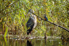 Heron and kingfisher (Wessel...) Tags: canon heron ijsvogel kingfisher kralingen kralingseplas nederland netherlands reiger rotterdam