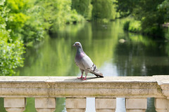 Pigeon at Chiswick Park (CJPhotography UK) Tags: wildlife nature animal natur bird pigeon outdoors park garden london chiswick chiswickhouse lake trees green water bridge urbanwildlife urban urbannature sun sunlight summer sunday reflection plants canon zoom tree grey feathers pond