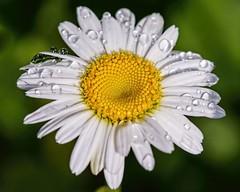 Sprinklers Work! (brev99) Tags: flower water garden bokeh waterdrops whiteflowers shastadaisy greenbackground d7100 ononesoftware topazdenoise tamron180f35 topazdetail cacorrection dxooptics8 perfecteffects10