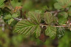 Rubus biflorus (2) (siddarth.machado) Tags: east lachen northsikkim himalayanflora
