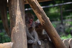 DSC_0032 (ukon1976) Tags: zoo monkey japanesemacaque