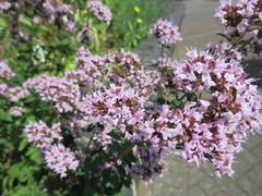 205:365, 2016, Sweet marjoram IMG_3123 (tomylees) Tags: marjoram herb garden braintree district museum project 365 july 2016 23rd saturday