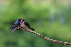 Two is company (luka567) Tags: hirundo rustica swallow barn photography wildlife birding canon 5d mark 3