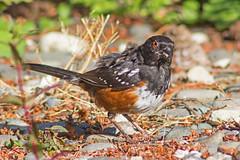Molting Towhee (Dave In Oregon) Tags: bird nature oregon molt spottedtowhee pipilomaculatus rainieroregon