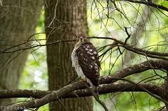 Demon Eyes (flipkeat) Tags: nature avian bird hawk coopers closeup awesome birding birdwatching raptor talons mississauga outdoors