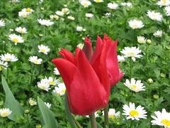 IMG_6127 (Gkmen Kmrt) Tags: tulips tulip 2014 emirgan laleler