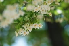 えごのき/Styrax japonica (nobuflickr) Tags: kyoto kiyamachi japa styraxjaponica japanesesnowbell japanesestorax えごのき エゴノキ科エゴノキ属 20150502dsc02143