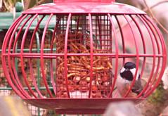 Coal Tit! ('cosmicgirl1960' NEW CANON CAMERA) Tags: sky nature birds gardens tits feeding yabbadabbadoo