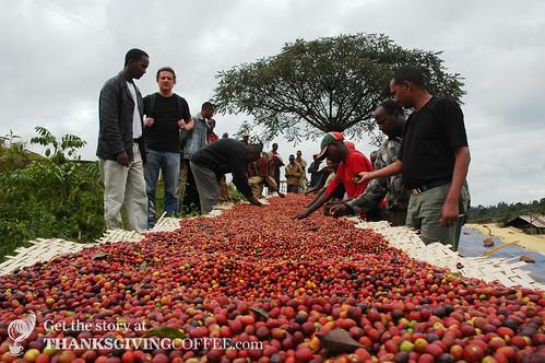 Separating Coffee Cherries by Hand