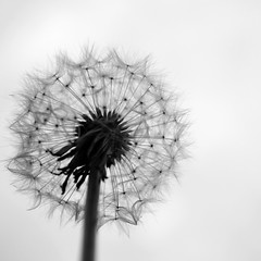 Blow! (Ben Wightman) Tags: blackandwhite silhouette dandelion squareformat taraxacum