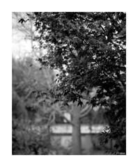 Mamiya Rb 67 Pro S_001 (dcanalogue) Tags: camera white black classic mamiya film garden kodak bokeh tmax s f45 180 pro medium format 100 mm filmcamera 6x7 rodinal rb 67 tmy sekor wlf adonal classicblackwhite analogicait