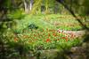 Tulips (Asif HEM) Tags: red green canon garden 50mm tulips baku botanic through laleler 60d
