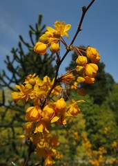Golden berberis (Ruth and Dave) Tags: flower yellow vancouver golden spring bright vandusengardens shrub berberis
