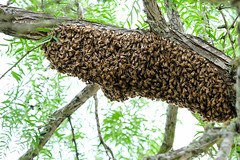 Bees swarming (Lars Plougmann) Tags: tree austin us texas unitedstates bees cluster bee swarm mckinneyfalls dscf9087