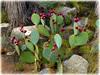 citizens (milomingo) Tags: plant nature cactus arid desert spine thorn red green pricklypear desertbotanicalgarden phoenix arizona southwest organic cmwd cmwdgreen burgundy wine maroon outdoor garden earthnaturelife