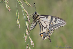 Papilio machaon (Sinkha63) Tags: france animal butterfly wildlife lepidoptera papillon swallowtail corrèze limousin papilio faune insecta papilionidae papiliomachaon machaon papilionini papilioninae