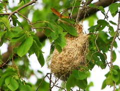 Baltimore oriole female & nest at Cardinal Marsh IA 854A2900 (naturalist@winneshiekwild.com) Tags: county female nest cardinal reis iowa baltimore larry marsh oriole winneshiek