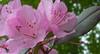 Azalea blossoms (1 of 1) (LarryJ47) Tags: leica pink flowers photography 1 spring blossom elite azalea digilux
