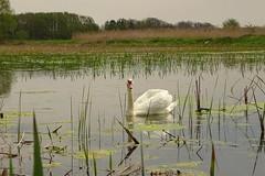 a swan (JoannaRB2009) Tags: bird reed nature water spring swan pond poland polska lodzkie dzkie sarnw