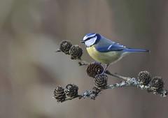 Mésange bleue (isabelle.bienfait) Tags: bird oiseau bluetit mésangebleue
