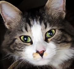 Gato Modeling (Victor Mitri) Tags: portrait green animal cat fun eyes modeling pussycat gatito gatote lightcatch