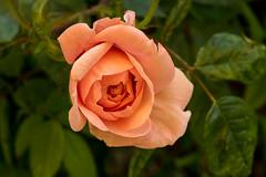 Gestern noch eine Knospe, heute entfaltet sich die Rosenblte Gestern noch eine Knospe, heute entfaltet sich die Rosenblte - Yesterday it was little more than a bud, today the rose is on the way to a full blossom (riesebusch) Tags: berlin garten marzahn