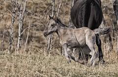 Spring Fever (Tracey Rennie) Tags: wild horse spring frolic alberta feral wildhorse foal sundre wildie
