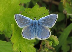 Common Blue (Polyommatus icarus) Male (Rezamink) Tags: uk butterflies commonblue polyommatusicarus