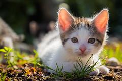 The young cat of my neighbor (radonracer) Tags: animals cat tiere katze katzen haustier ktzchen hauskatze jungtiere boeckelt