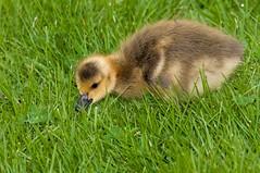 2016 Canada Goose Gosling (DrLensCap) Tags: park baby chicago canada bird robert harbor illinois goose il lincoln montrose gosling kramer