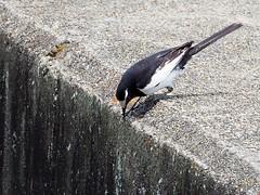 Japanese wagtail () (Greg Peterson in Japan) Tags: birds japan wildlife rivers shiga jpn moriyama shigaprefecture otherbirds yasugawa rittocity