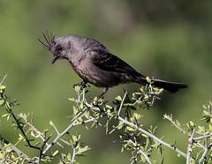 Phainopepla (millerb34) Tags: birdperfect