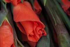 Orange flowers of the gladiolus plant. (George Ino) Tags: copyright orange flower holland netherlands utrecht ngc nederland oranje bloem georgeino georgeinohotmailcom naturenatuurnatur gladioolbloem