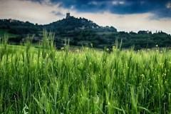 Wheat with view ([Rirri]) Tags: panorama macro green tower nature up field grass canon landscape close wheat cereal valle natura val tuscany campo siena toscana montagna grano castiglione dorcia landascapes cereali