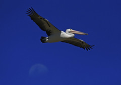 Australian Pelican : Shaking off the moon . . . (Clement Tang ** busy **) Tags: travel summer nature closeup inflight afternoon wildlife australia bluesky nsw newsouthwales lunar avian nationalgeographic birdwatcher macrophotography australianpelican theentrance pelecanusconspicillatus closetonature aquaticbird waningmoon concordians feedingofthepelicans