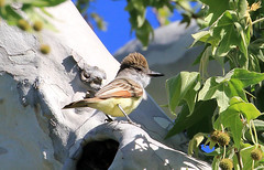 Brown-crested Flycatcher (millerb34) Tags: birdperfect