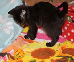 Gata Pucca (14) (adopcionesfelinasvalencia) Tags: gata pucca