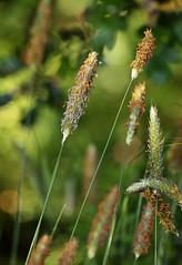 Summer 2016 B37 (Lostash) Tags: uk flowers summer plants nature flora seasons wildflowers