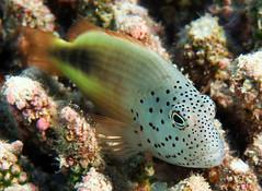 Freckled Hawkfish (dfinney23) Tags: dfinney23 2016 maldives snorkeling fish freckled hawkfish underwater