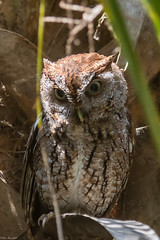 Keeping an eye on his nest (Explored) (Fred Roe) Tags: nature birds wildlife birding raptor owl birdwatching birdwatcher easternscreechowl megascopsasio greencaywetlands nikonafsteleconvertertc14eii nikond7100 nikkorafs80400mmf4556ged lca71c7539