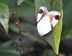 Liuzhou/ - Sphragifera biplagiata/ DSCN6439 (Petr Novk ()) Tags: china nature animal insect asia wildlife moth  lepidoptera noctuidae asie  guangxi liuzhou   hmyz     motl  na sphragifera   sphragiferabiplagiata