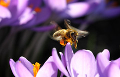 Bee at work (Marcus Rahm) Tags: macro nature closeup canon spring purple outdoor natur pflanze crocus bee pollen makro biene frhling canon60d canonef100mmf28lmacroisusm