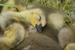 Gosling snoozing on ultimate goose-down bed (kenyoung3) Tags: gosling canadagoose brantacanadensis georgecreifelmigratorybirdsanctuary