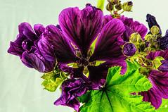 _DSC9665 (Mick.Gardner) Tags: flowers macro mallow
