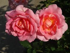 DSC00788 (gregnboutz) Tags: pink flowers roses flower macro rose pinkflower macros brightflowers pinkflowers macroflowers gardenflowers bloomingflower colorfulflowers bloomingrose colorfulrose bloomingflowers macrorose macroroses bloomingroses colorfulflower brightrose colorfulroses colorfulmacros