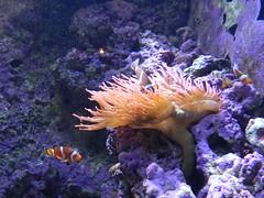 DSCN0577 (pablo.modo) Tags: portugal coral lisboa acuario pezpayaso