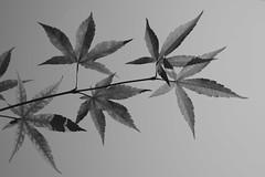 Japanese maple (hogtown_blues) Tags: blackandwhite monochrome leaves experiment japanesemaple
