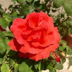 Las Vegas Rose (Assaf Shtilman) Tags: las vegas red orange rose