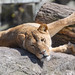 Lioness Twisted on Rocks